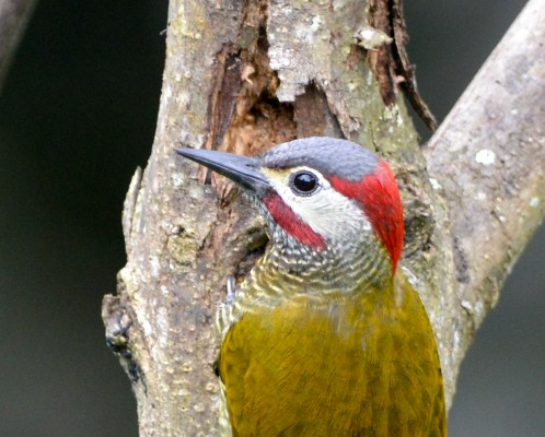 Golden-olive Woodpecker, Trinidad, Trinidad and Tobago, Asa Wright Nature Centre, Caligo Ventures, Trinidad Birding Tour