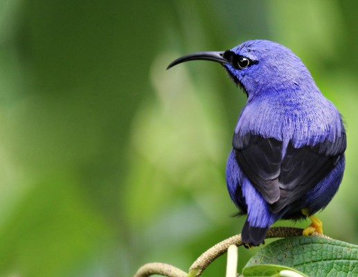 Purple Honeycreeper, Trinidad, Trinidad and Tobago, Asa Wright Nature Centre, Caligo Ventures