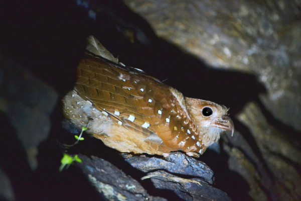 Oilbird, Trinidad, Trinidad and Tobago, Asa Wright Nature Centre, Caligo Ventures, Trinidad Birding Tour