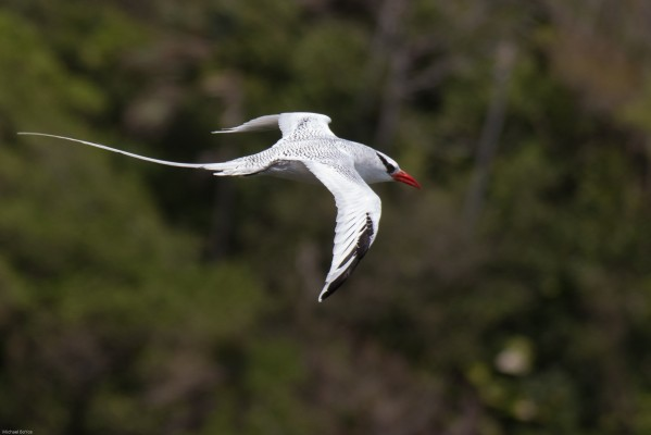Red-billed Tropicbird, Trinidad, Trinidad and Tobago, Asa Wright Nature Centre, Caligo Ventures, Trinidad Birding Tour
