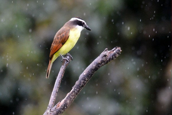 Great Kiskadee, Trinidad, Trinidad and Tobago, Asa Wright Nature Centre, Caligo Ventures