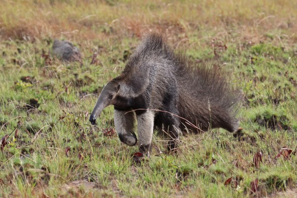 Giant Anteater, Guyana, Guyana Wildlife Tour, Caligo Ventures